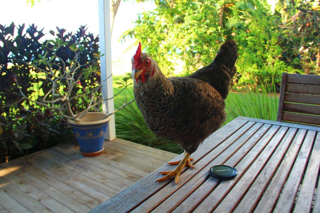 A chicken on my veranda, Rocky Point, Christmas Island
